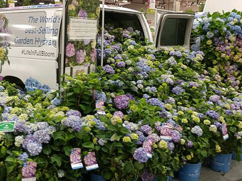 This Hydrangea Endless Summer Is Not Necessarily New But It Gives You A Taste Of My Experience